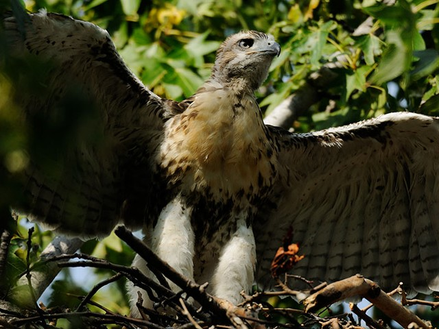 One of Riverside Park's red-tailed hawk babies tests its wings.