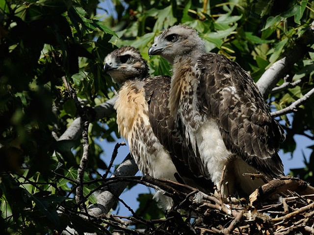 Two young red-tailed hawks in Riverside Park.