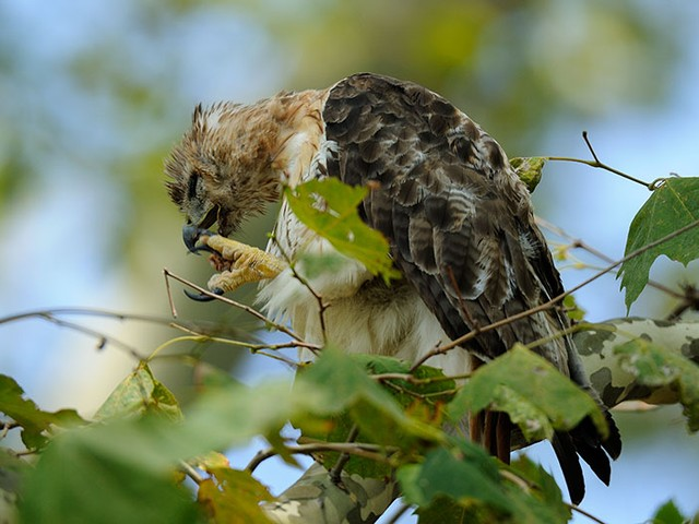 A young Riverside Park red-tailed hawk cleans its talons.
