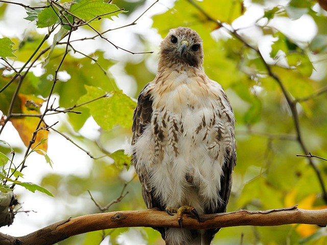 A young hawk with baby fuzz still visible, was seen earlier this month in Riverside Park.