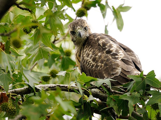 A Riverside Park red-tailed hawk in a leafy perch.