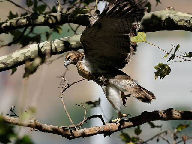 One of Riverside Park's red-tailed hawks mid-flight.
