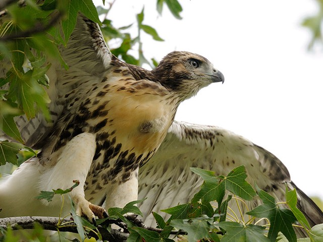 A young hawk stretches its wings in Riverside Park.