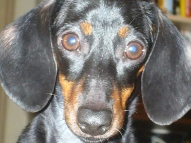 The Galvins lost their dog Murphy, a miniature dachshund.