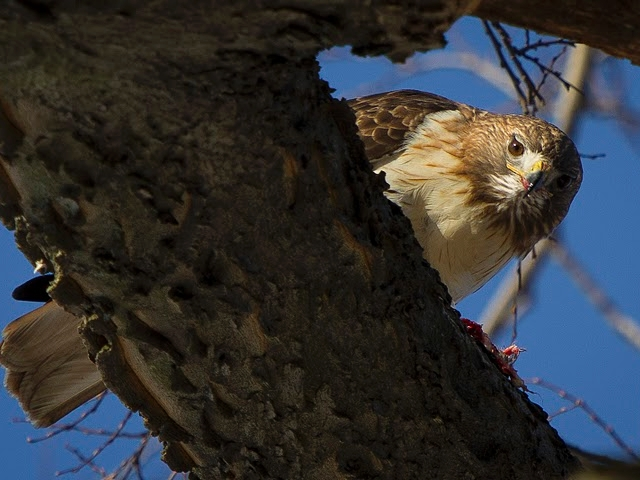 Red-tailed hawk photographed in Inwood.