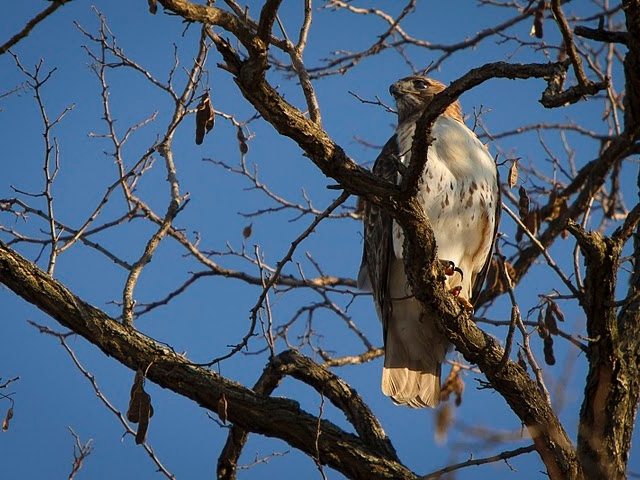 The same red-tailed hawk is believed to have been spotted in Park Terrace Gardens, a five-building co-op in Inwood.