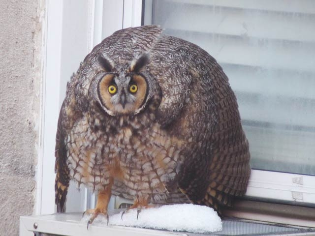 The long-eared owl puffed up when it first saw Inwood photographer Suzanne Abbott.