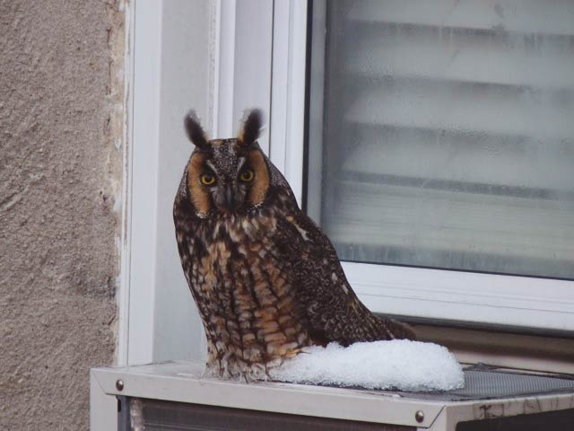A long-eared owl was spotted in Inwood in late January 2011.