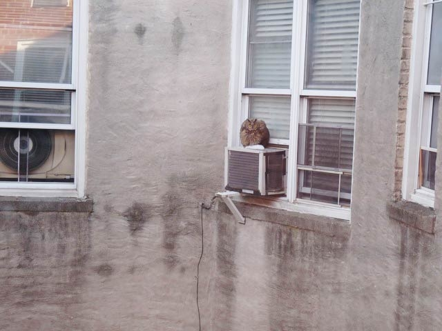 The long-eared owl perched on an Inwood air-conditioning unit for a day before flying off into the night, according to photographer Suzanne Abbott.