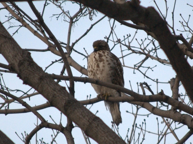 A red-tailed hawk has made a part-time home in the courtyard at the Park Terrace Gardens co-op in Inwood.