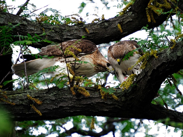 Riverside Park's red-tailed hawk couple. The male is pictured at right. His body was found recently. Some believed he died after eating a poisoned rat.