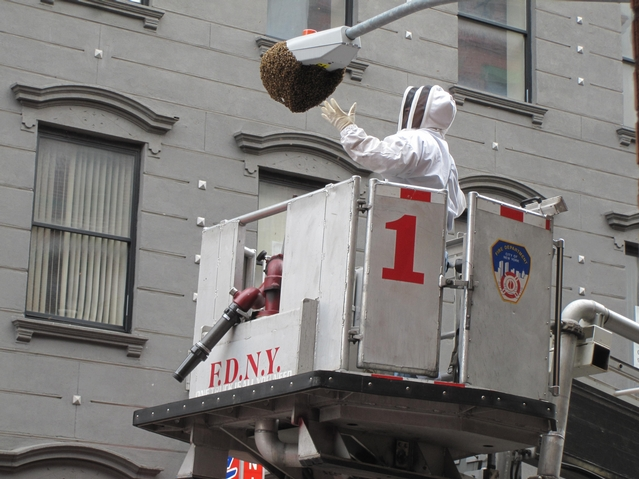 NYPD beekeeper Tony Planakis uses an FDNY ladder to reach the swarm.