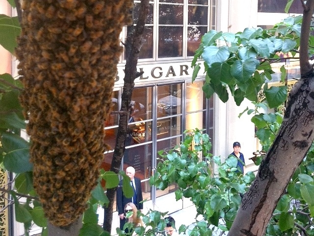 Bees swarmed a tree outside Midtown gem shop Bulgari Wednesday afternoon.