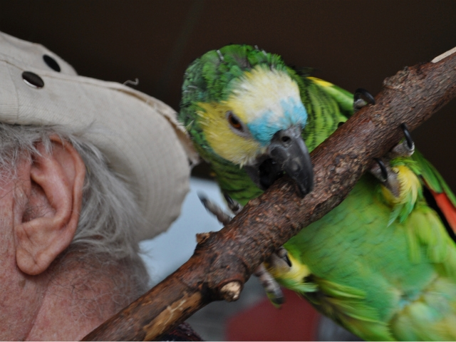 Amazon parrots have a high ability to mimic human speech, but they also require more attention than cats or dogs as pets, said Rauch.