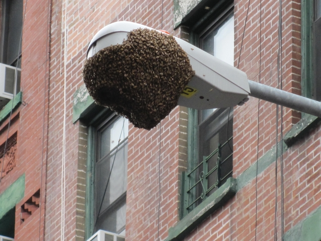 An estimated 15,000 bees massed on the streetlight.
