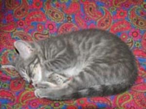 Tiki sleeping on the pillow