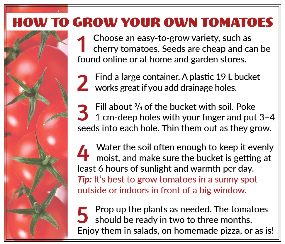 How to grow your own tomatoes: 1 Choose an easy-to-grow variety, such as cherry tomatoes. Seeds are cheap and can be found online or at home and garden stores. 2 Find a large container. A plastic 19 L bucket works great if you add drainage holes. 3 Fill about 3/4 of the bucket with soil. Poke 1 cm-deep holes with your finger and put 3–4 seeds into each hole. Thin them out as they grow. 4 Water the soil often enough to keep it evenly moist, and make sure the bucket is getting at least 6 hours of sunlight and warmth per day. Tip: It's best to grow tomatoes in a sunny spot outside or indoors in front of a big window. 5 Prop up the plants as needed. The tomatoes should be ready in two to three months. Enjoy them in salads, on homemade pizza, or as is!