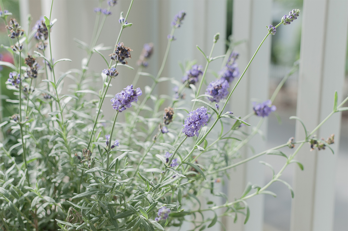 lavender plant repels pests on small balcony