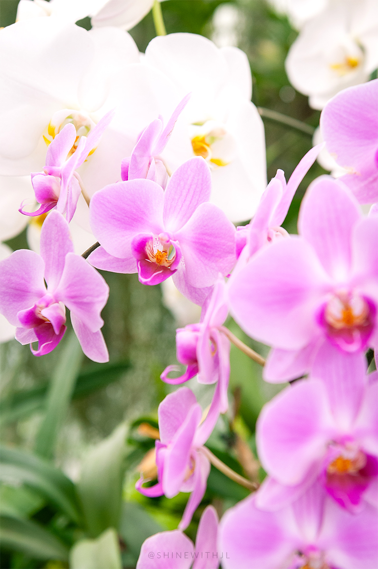 pink orchids up close