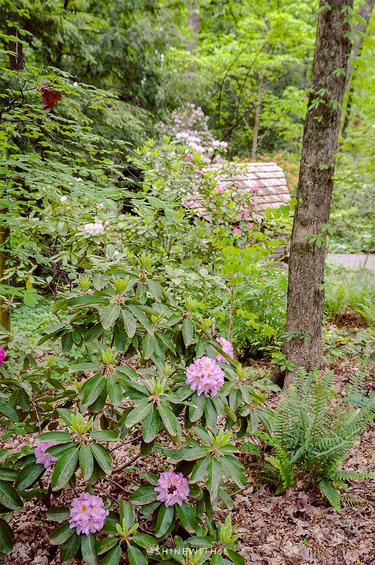 pink rhododendron charlotte botanical garden spring