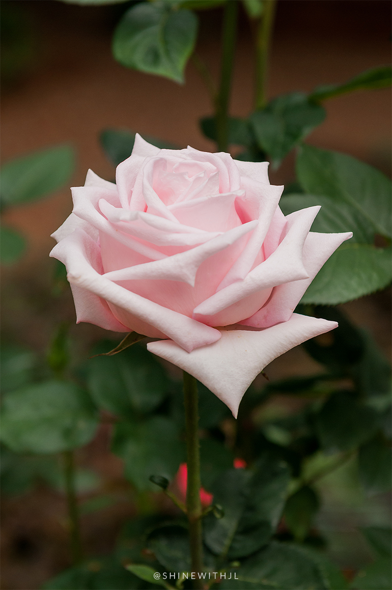 soft pink single bloom rose shinewithjl