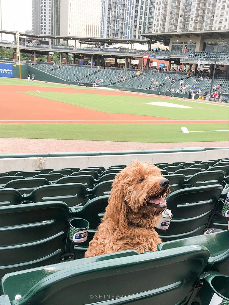 red f1 goldendoodle at ballpark charlotte
