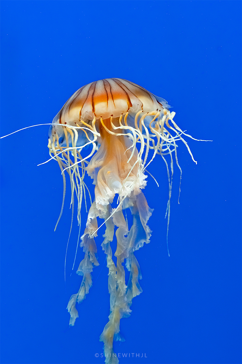 jellyfish with blue background georgia aquarium