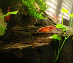 Berried Fire Red