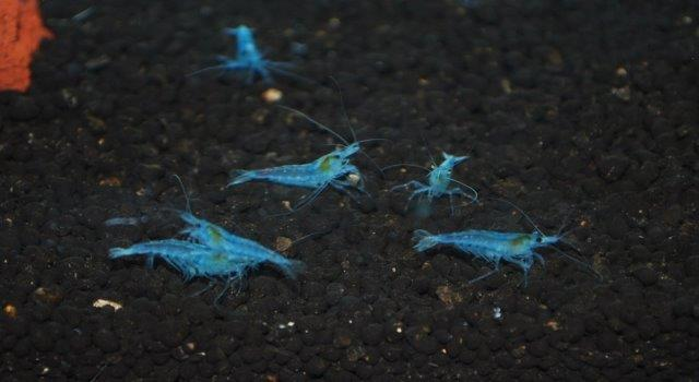 blue neos genetics and selective breeding the shrimp spot