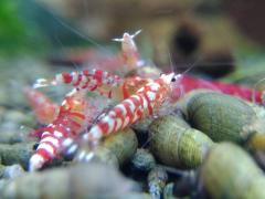 Safari 'Red Marble' Tiger shrimp