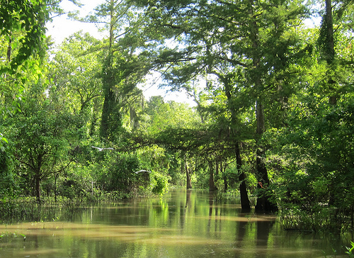 Atchafalaya Swamp photo