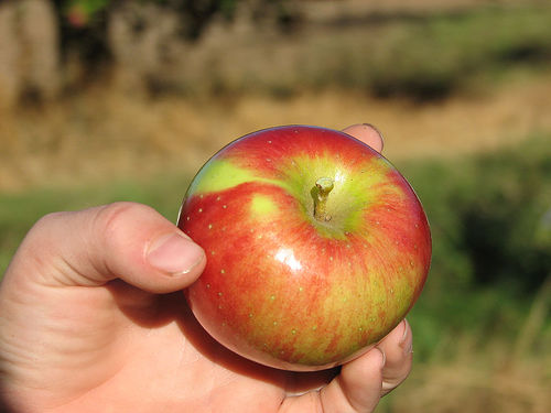 cortland apple photo