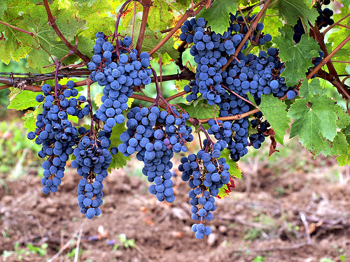 grapes on vine photo