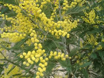 Acaciadealbata.jpg