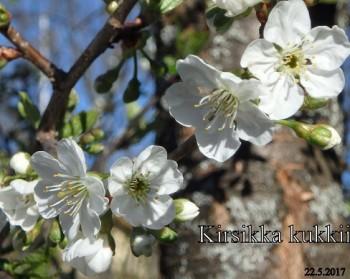Kirsikkakukkii20170522.jpg