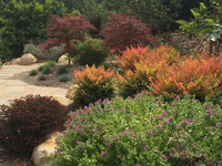 01-nandina-and-maples
