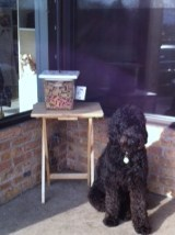Poodle waiting for treats in front of starbucks