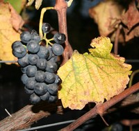 Robléon Vineyard Syrah