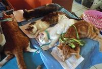 400 Dogs, Cats Neutered and Spayed -Taj Weekes' Animal Agenda