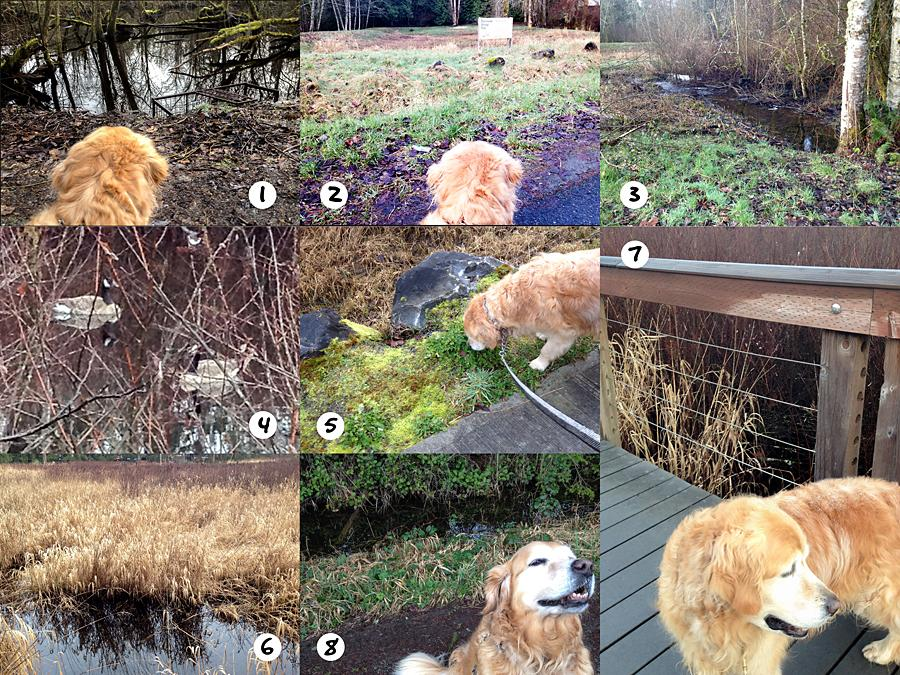 Ginger's Daily Walk - Adventures of a Golden Retriever in Pacific NW Suburbia - image 14 - student project
