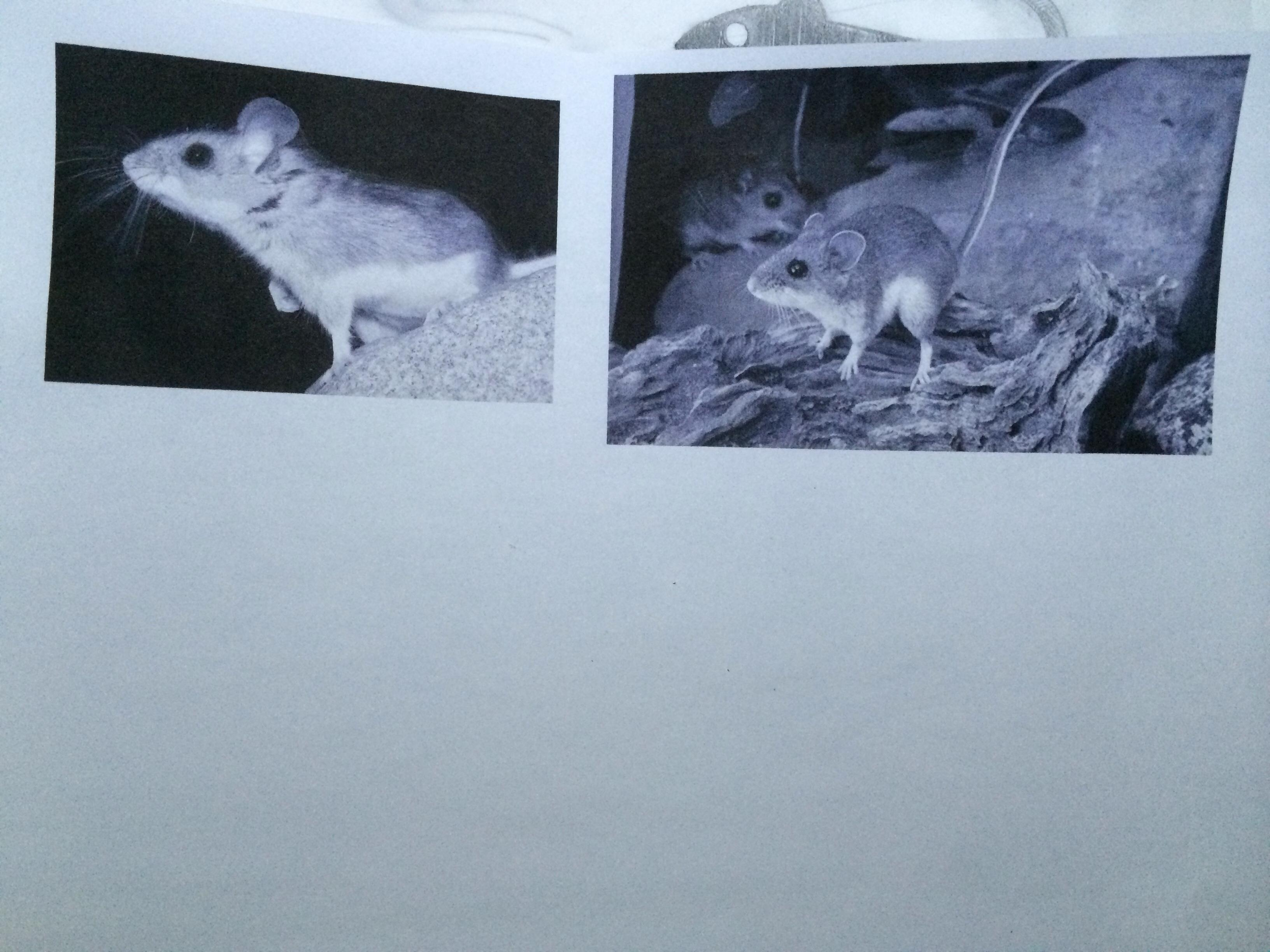 Deer Mouse Logo - image 1 - student project