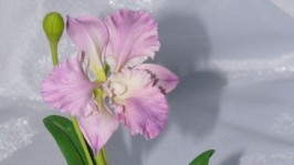 «Орхидея каттлея» растение из полимерной глины