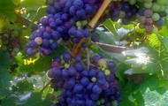 Tiger Mountain Vineyard