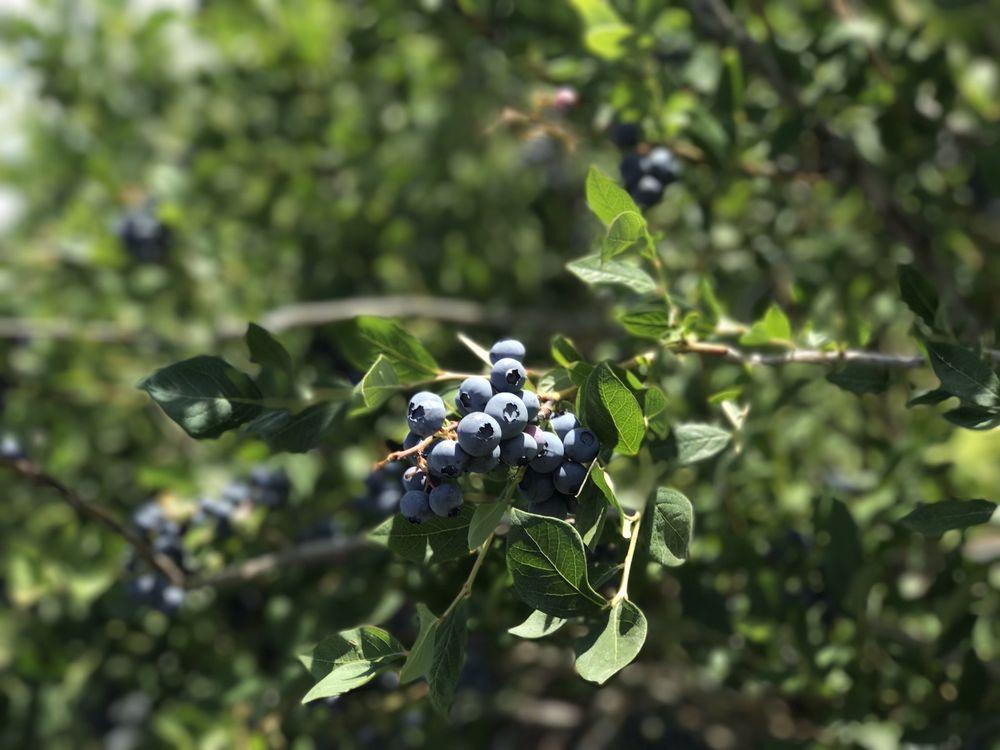 In the last 2 decades north american highbush blueberry