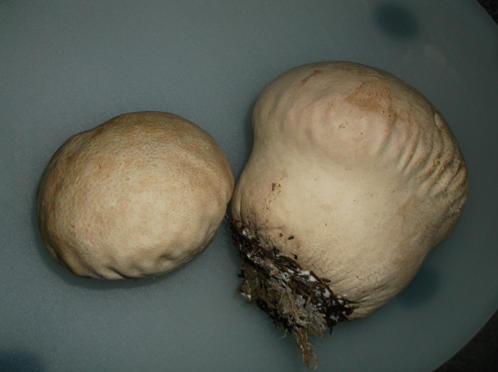 Purple-Spored Puffball near Observatorty 18NOV2017.JPG