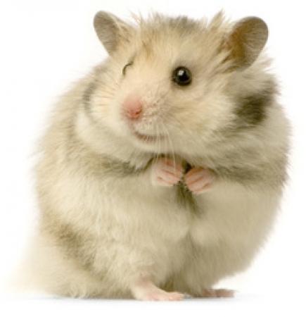 Хомяки мыши крысы  купить грызунов в Томске на Avito