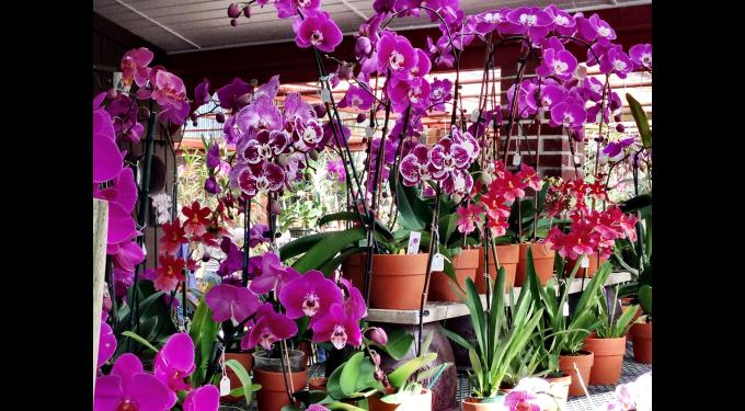 Redland International Orchid Show