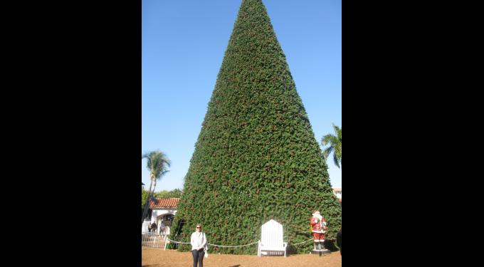 100 Foot Tree Delray Beach South Florida Finds