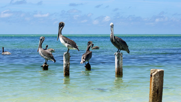 Best Places To See Florida S White Pelicans South Florida Reporter