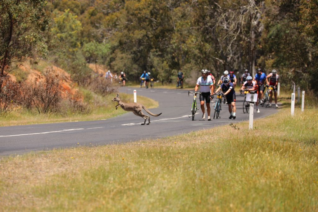 kangaroo crossing the road, Col de Beloka